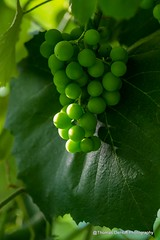 Fall's bounty in progress (Thomas DeHoff) Tags: grapes green concord sony a580