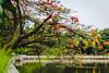 Delonix Regia (wiraga_adi) Tags: bunga flamboyan merah cinere flower tree red