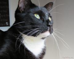 Bird Watching (CopperScaleDragon) Tags: dean bird watching 061317 unedited cat tuxedo