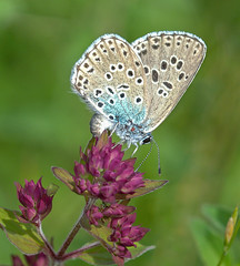 JWL6720  Large Blue.. (jefflack Wildlife&Nature) Tags: largeblue lepidoptera butterfly butterflies insects insect countryside meadows copse wildflowers nature danewaybanks