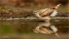 Sparrow Hawk reflection (Gertj123) Tags: bird birdofprey netherlands nature water bathing bokeh animal canon reflection summer female wildlife