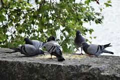 Pigeons 14.07 (3) (tabbynera) Tags: pigeons