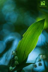 FILIGRANA (Lace1952) Tags: fiore foglia mughetto sottobosco controluce filigrana luce bokeh bolle panasoniclumix pancolar
