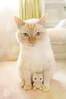 Mello n His Mini-Me (little ︎♥ lovelies) Tags: mello flame red point siamese cat kitty cute blue eyes handmade felted mini plush