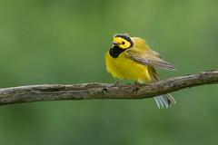 Hooded Warbler (Joe Branco) Tags: hoodedwarbler lightroomcc2015 photoshopcc2017 joebrancophotography summer spring songbirds nikond500 nikon nature wildlife branco birds joe green