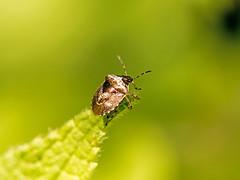 Woundwort Shieldbug (niloc's pic's) Tags: woundwortshieldbug eysarcorisvenustissimus shieldbug bug insect robertsbridge eastsussex panasonic lumix dmcgx7
