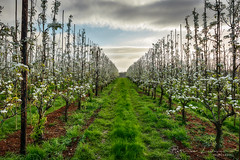 Appelboomgaard (Patrick LEMAIRE) Tags: bloesemszillebeke2017mieke appletrees blossoms belgium