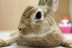 Ichigo san 743 (Ichigo Miyama) Tags: いちごさん。うさぎ ichigo san rabbit うさぎ netherlanddwarfbunny netherlanddwarf brown ネザーランドドワーフ ペット いちご