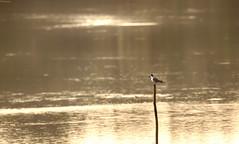 ..sitting alone.. (vjsankar) Tags: bird lake avian kerala trivandrum vellayani punchakkari canon canon6d tamron tamron150600mm