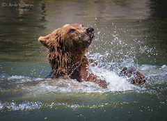 Europäischer Braunbär (ab-planepictures) Tags: bär bear zoo tier animal wasser zoom gelsenkirchen braunbär
