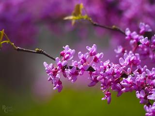New England Spring Blossoms