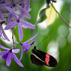 Heliconius Erato (2) (Lucille-bs) Tags: europe allemagne badewurtemberg bodensee lacdeconstance mainau iledemainau papillon heliconiuserato fleur mauve fleurmauve 500x500 bokeh