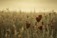 Three takes on poppy field 1 (PINNACLE PHOTO) Tags: poppy poppies fieldofpoppies red flower humnreds morning effect golden light canoa martinbillard surrey