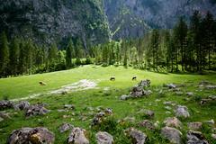 lucky cows (bernd obervossbeck) Tags: cow cows kuh kühe bayern königssee landscape landscapephotography landschaft landschaftsfotografie gebirge mountain mountains bäume trees licht light weide wiese willow pasture steine stones rocks felsen fujixt1 xf1024mmf4r