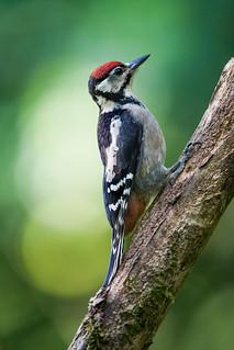 Woodpecker - Somerset
