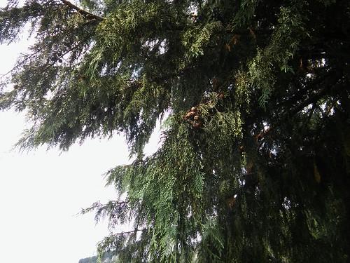 Cupressus × notabilis 20170625_171515