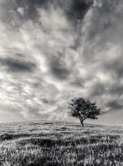 Just the one (grbush) Tags: tree lonetree solitude minimalism pitstone pitstonehill buckinghamshire sky clouds light bw blackwhite monochrome lonelytree alone sonyslta77 tokinaatx116prodxaf1116mmf28 landscape