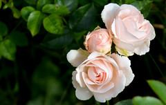 Small roses (Caulker) Tags: smallroses june 2017