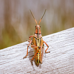 Grasshopper (Wade Brooks) Tags: grasshopper canon xti