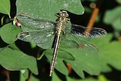 Dragonfly (Hugo von Schreck) Tags: hugovonschreck dragonfly libelle insect insekt macro makro canoneos5dsr tamron28300mmf3563divcpzda010 buzznbugz onlythebestofnature