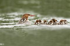 ''La marmaille!'' Grand harle- mergus merganser (pascaleforest) Tags: oiseau bird duck canard passion nikon nature wildlife wild faune québec canada kayak été summer animal bébé baby