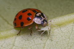 _IMG7318 Harlequin Ladybird feeding on aphid (Pete.L .Hawkins Photography) Tags: petehawkins petelhawkinsphotography petelhawkins petehawkinsphotography pentax 100mm macro pentaxpictures fantasticnature fabulousnature incrediblenature naturephoto wildlifephoto wildlifephotographer naturesfinest unusualcreature naturewatcher insect invertebrate bug 6legs compound eyes creepy crawly uglybug bugeyes fly wings eye veins flyingbug flying beetle shell elytra ground harlequin ladybird feeding aphid