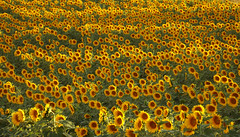 Sunflowers Ecstasy (lady_sunshine_photos) Tags: sunflowerecstasy sonnenblumenrausch sonnenblumen sunflowers yellow gelb feld field sunflowersfield green grün weinviertel winequarter auersthal loweraustria niederösterreich at austria österreich europe europa juli 2017 july ladysunshine ladysunshinephotos sonyalphanex7 supershot wonderfulworld farbwolke alcatel nature travel theworldisbeautiful sundaylights