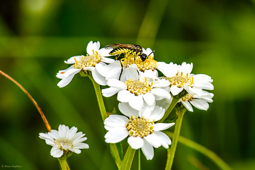 Sawfly (Tenthredo sp.) feeding on Sneezewort (Achillea ptarmica)