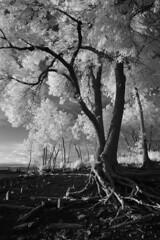 Érosion (Patrice StG) Tags: ir ir760nm infrarouge infrared nex3 tree arbre érosion erosion stlaurent stlawrence river fleuve québec gimp darktable nb bw noiretblanc blackandwhite