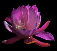 Glowing Backlit Pink And Red Epiphyllum (Bill Gracey 15 Million Views) Tags: glowing glow backlit backlighting offcameraflash roguegrid softbox perspex blackbackground red pink color colorful epiphyllum epi tabletopphotography yongnuorf603n yongnuo homestudio nature naturephotography macrolens macro garden lakeside