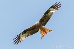 Rotmilan 12 (rgr_944) Tags: vögel vogel bird oiseau tiere animaux animals natur outdoor canoneos80deos7dmk2eos5dmk4 rgr944
