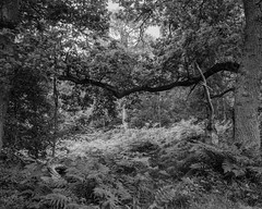 Framed Oak branch with back lit leaves and ferns (Hyons Wood) (Jonathan Carr) Tags: black white bw monochrome abstract landscape rural northeast 4x5 5x4 largeformat toyo45a