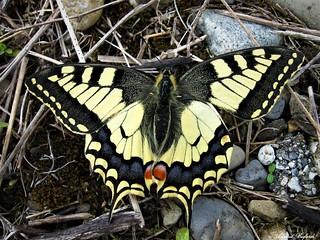 Butterfly 1309
