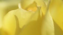 Impressionistic Yellow Rose (Bill Gracey 15 Million Views) Tags: impressionistic yellow rosa rose fleur flower flor backlit backlighting shapes shadows selectivefocus garden lakeside elegance elegant