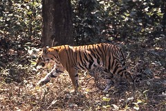 Bangal tiger Kahna NP in Madhya Pradesh, India (inyathi) Tags: india indianwildlife asianwildlife bengaltiger pantheratigris madhyapradesh nationalparks bigcats cats tigers kanha