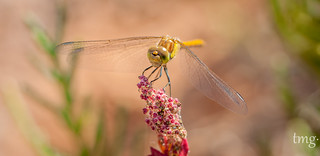 Sympetrum striolatum (macho/male)