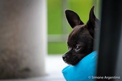 Relax (simoneargentino) Tags: chihuahuatoy babydog mydog photocolors lenscanon55250mm dog cutetoy photofocal250mm