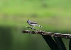 Tufted Titmouse (Woolmarket100) Tags: tuftedtitmouse bird birdfeeder