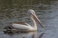 Juvenile Australian pelican (Pelecanus conspicillatus)-1984 (rawshorty) Tags: rawshorty birds canberra australia act portmacquarie