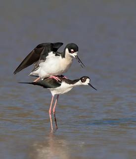 Mating Black-necked Stilts Gilbert water ranch az