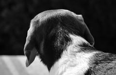 Lucky (LuckyMeyer) Tags: hund dog haustier jagdhund beagle schwarz weiss black white