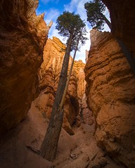 Niche (Thomas James Caldwell) Tags: wall st street bryce canyon national park utah rock geology nature tree shadow sky landscape outdoor douglas fir sandstone erosion light