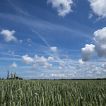 Wheatfield under a blue sky thumbnail