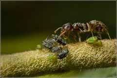 Collecting honeydew ... (Ed Phillips 01) Tags: ant aphid honeydew collection insect macro mpe staffordshire