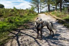 Now look at him! (Julia Livesey) Tags: longdog lurcher muddydog teddy warehamforest salukigreyhound wareham england unitedkingdom gb