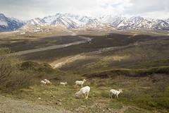 Dall sheep, Denali NP, Alaska (mbuna) Tags: usa alaska denali national park dall sheep