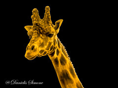 P6250074a (DS-Photografy) Tags: beauty nature animals beautiful orange animal wildlife giraffe natura natural pics olympus epl7 zoom fineart portrait portraiture portraits animale