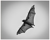 Die Fledermaus (PaulBalfe) Tags: flyingfox bulimbacreek