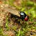Lonchaeid Fly