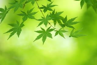 green momiji